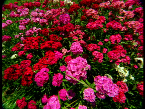 Pink and red geraniums bloom in a flower bed.