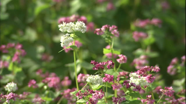 Pink and white buckwheat flowers sway with a gentle breeze in Semboku, Akita.