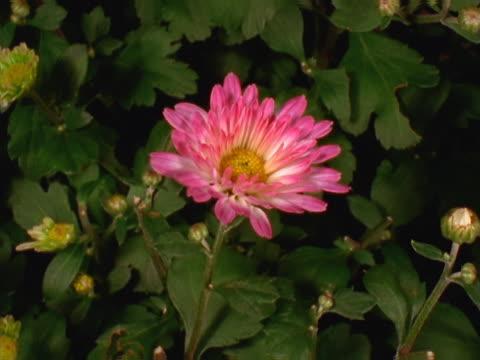 pink and white chrysanthemum - chrysanthemum stock videos & royalty-free footage