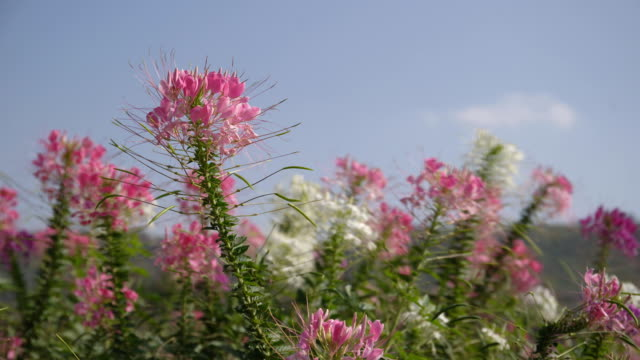 pink and white spider flower(cleome hassleriana) in the garden - spider flower stock videos & royalty-free footage