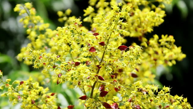 ms pink and yellow flowers bloom at tree flowers shaking by wind and bees collecting honeyfrom flower / hilo, big island,hawaii, united states  - hilo stock videos & royalty-free footage