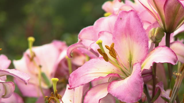 pink and yellow tiger lily blossoms - day lily stock videos & royalty-free footage