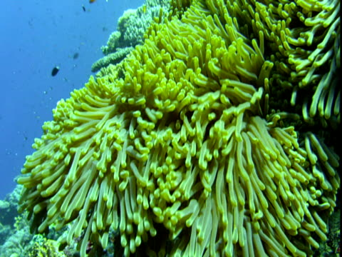 a pink anemonefish darts into the undulating tentacles of a sea anemone. - sea anemone stock videos & royalty-free footage