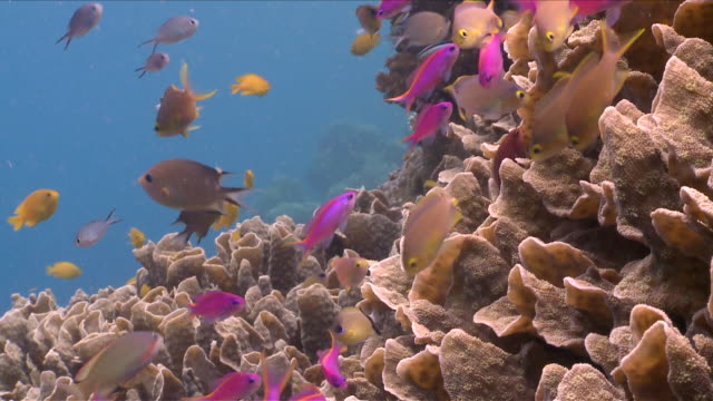 cu pink anthias swimming over hard coral / visayan islands, the visayans, philippines   - hard coral stock videos & royalty-free footage