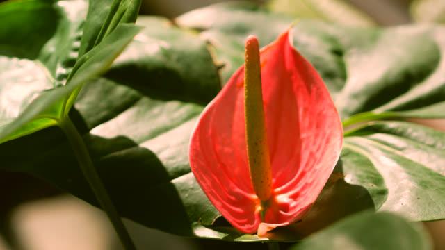 pink anthurium close up. - anthurium stock videos & royalty-free footage
