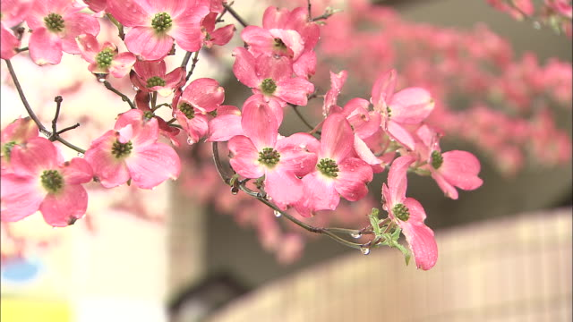 vídeos de stock e filmes b-roll de pink blossoms of flowering dogwood tree damp from rain, koshu, yamanashi - estame