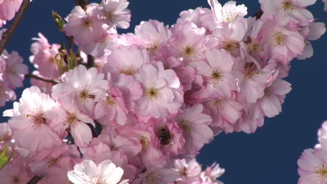 stockvideo's en b-roll-footage met hd: pink blossoms - werkdier