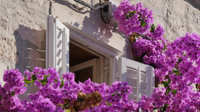 pink bougainvillea flowers and shuttered window in korcula town, korcula island, dalmatia, croatia, europe - shutter stock videos & royalty-free footage