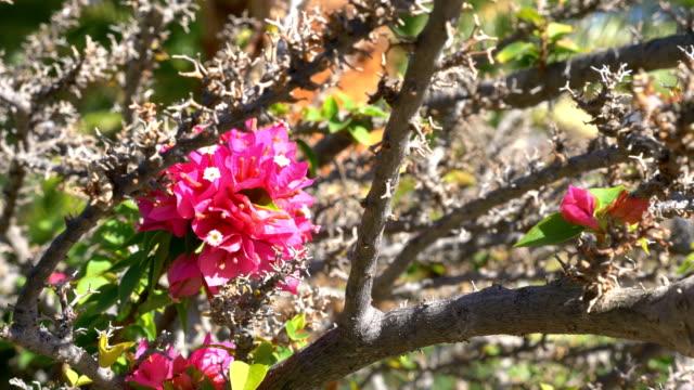 Pink bougainvillea in bloom in slow motion in 4k