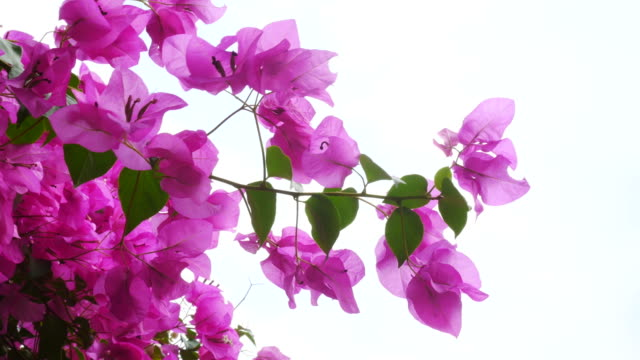pink bougainvillea on tree - petal stock videos & royalty-free footage