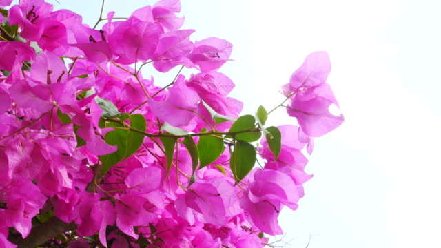 vídeos de stock, filmes e b-roll de buganvílias rosa na árvore - bouquet