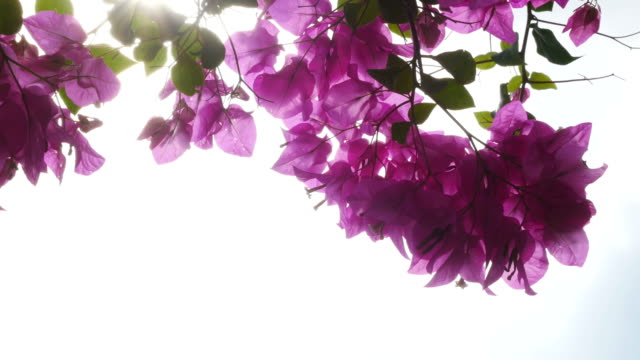 pink bougainvillea on tree - tropical bush stock videos and b-roll footage