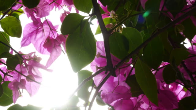 stockvideo's en b-roll-footage met roze bougainville op boom - guirlande