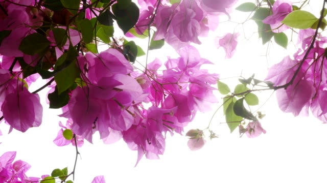 pink bougainvillea on tree - tropical flower stock videos and b-roll footage