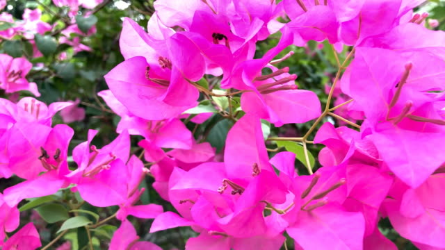 pink bougainvillea on tree - ornate stock videos & royalty-free footage