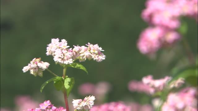 pink buckwheat flowers tremble in a breeze. - buckwheat stock videos & royalty-free footage