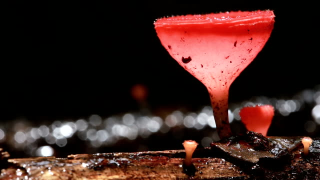 pink burn cup or fungi cup mushroom - fungus stock videos & royalty-free footage