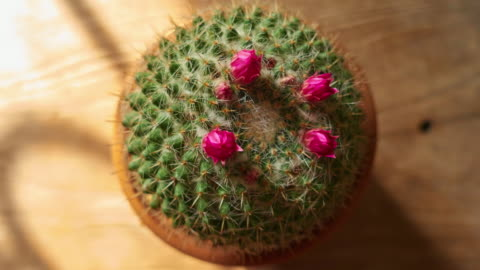 pink cactus bloom time lapse - succulent plant stock videos & royalty-free footage