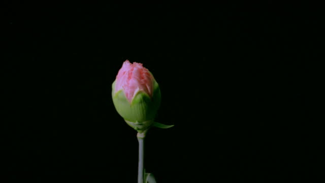 t/l, cu, pink carnation opening against black background  - carnation flower stock videos & royalty-free footage