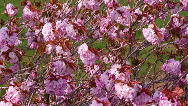 pink cherry blossom, blowing in wind, scarborough, north yorkshire, england - 英国スカーブラ点の映像素材/bロール