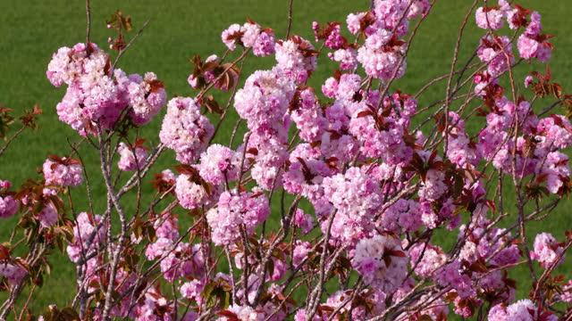 vídeos y material grabado en eventos de stock de pink cherry blossom, blowing in wind, scarborough, north yorkshire, england - árbol de hoja caduca