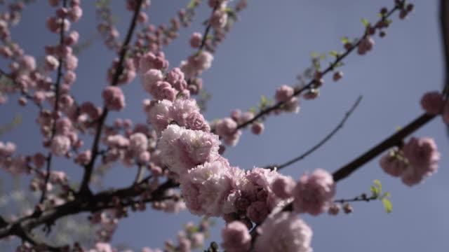 stockvideo's en b-roll-footage met roze kersenbloesem bloemen bewegen op de wind-stock video - lente