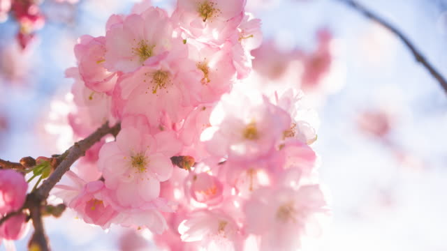 pink cherry blossom flowers on a clear sky background - cherry blossom stock videos & royalty-free footage