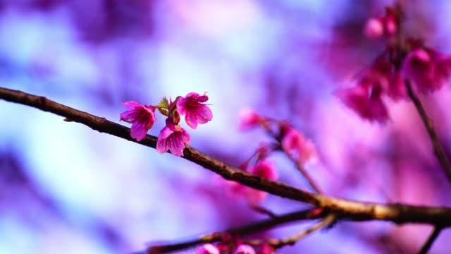 vídeos de stock e filmes b-roll de pink cherry blossom flowers on a clear sky background - prunus taihaku