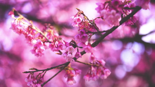 Pink cherry blossom flowers on a clear sky background
