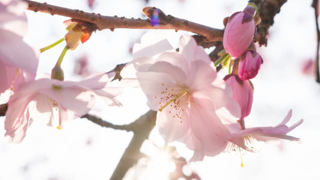 pink cherry blossom flowers - petal stock videos and b-roll footage