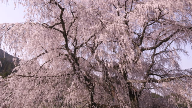 pink cherry blossom in osaka, low angle - satoyama scenery stock videos and b-roll footage