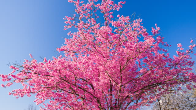 pink cherry blossom in spring - majestic stock videos & royalty-free footage