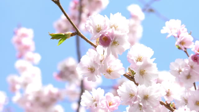 pink cherry blossom - springtime stock videos & royalty-free footage