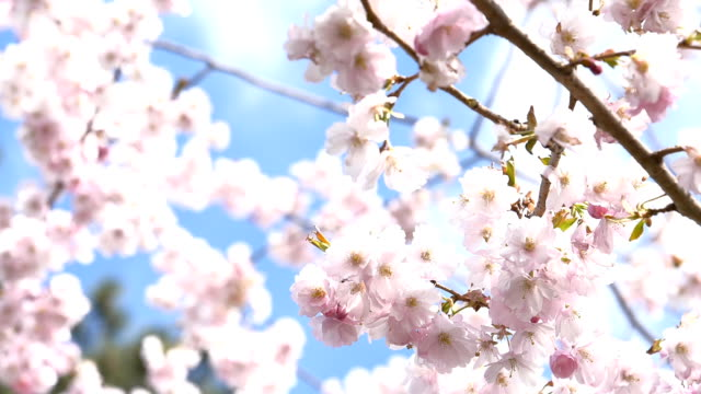 pink cherry blossom - springtime stock videos and b-roll footage