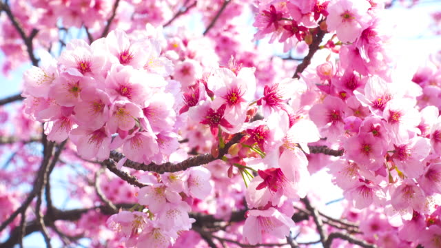ピンクの桜の花 - 桜の花点の映像素材/bロール
