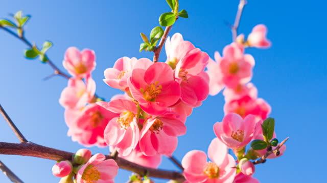 vídeos de stock, filmes e b-roll de flores de cerejeira rosa contra céu azul claro - brightly lit