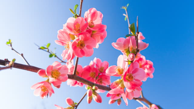 pink cherry blossoms against clear blue sky - great white cherry stock videos & royalty-free footage