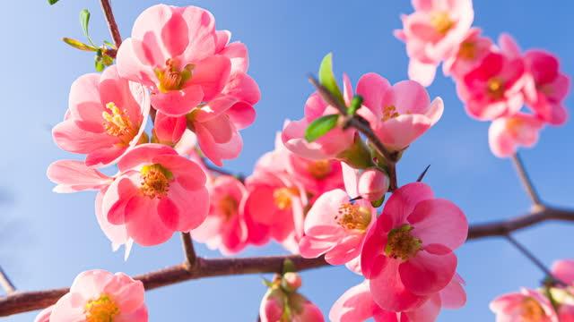 vídeos y material grabado en eventos de stock de flores de cerezo rosa contra cielo azul claro - brightly lit