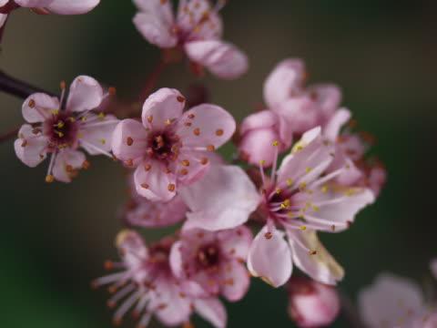 cu t/l pink cherry blossoms blooming  - ståndare bildbanksvideor och videomaterial från bakom kulisserna