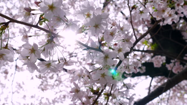 vídeos de stock, filmes e b-roll de flores de cereja rosa no jardim - flor de cerejeira