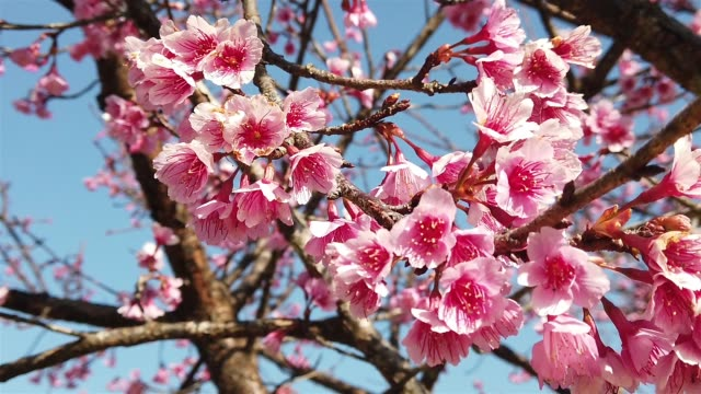 Pink cherry blossoms or sakura flower in the garden