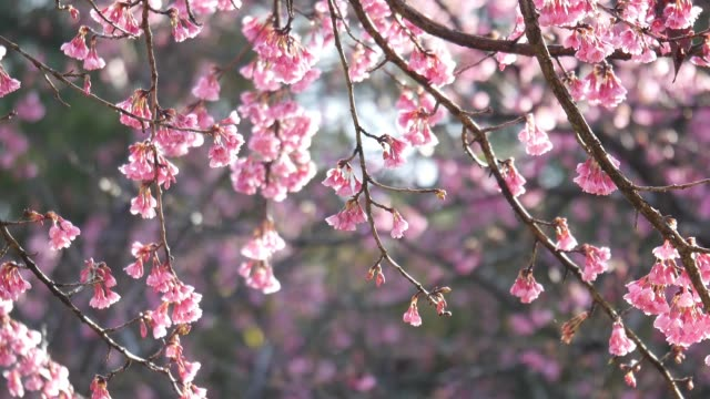 pink cherry blossoms or sakura flower in the garden - great white cherry stock videos & royalty-free footage