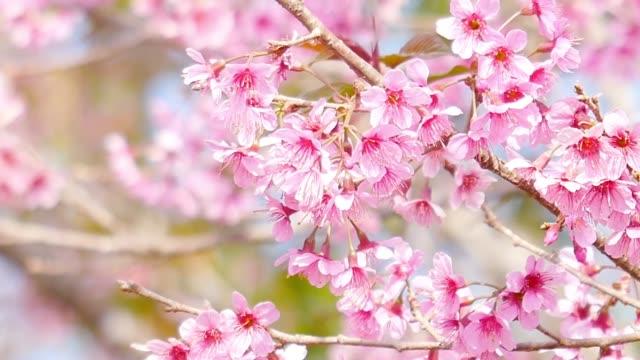 vídeos de stock e filmes b-roll de pink cherry blossoms or sakura flower in the garden - prunus taihaku