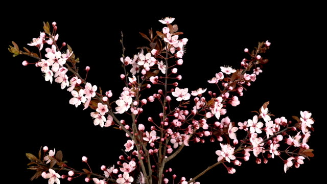 pink cherry blossoms; time lapse - twig stock videos & royalty-free footage