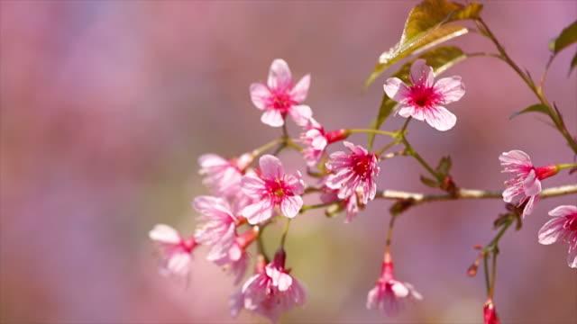 Rosa Kirsche Blüten.