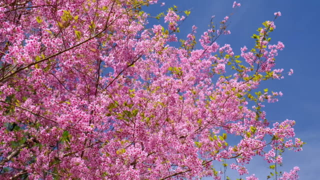 Pink Cherry Blossoms with Blue Sky Backgrounds