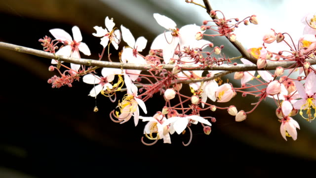 pink cherry flowers blooming - entertainment event stock videos & royalty-free footage