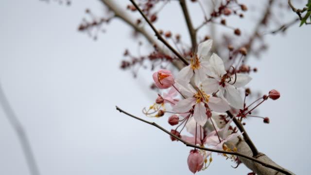 pink cherry blumen erblühen - unterhaltungsveranstaltung stock-videos und b-roll-filmmaterial