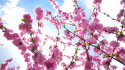 Pink cherry flowers on branch with blue sky and soft light background