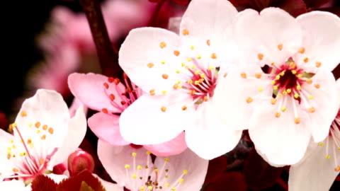 pink cherry tree blooming - single flower stock videos & royalty-free footage